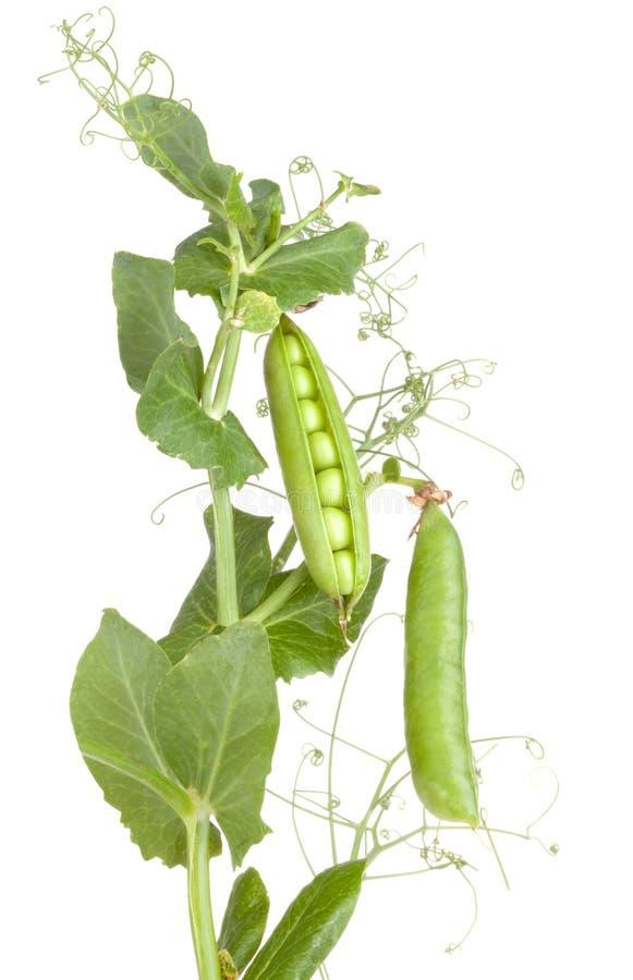 De installatie van erwten met doorbladert groenteninstallaties stock afbeeldingen