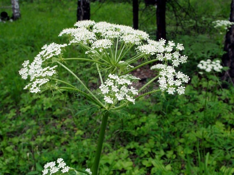 De installatie van de koepastinaak met de Latijnse bloei van naamheracleum in het bos royalty-vrije stock foto's