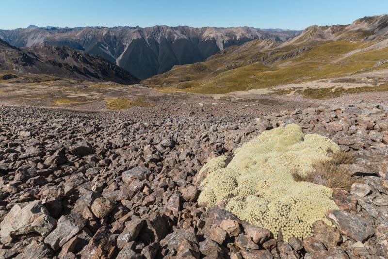 De installatie van Raouliaeximia het groeien op helling in Zuidelijke Alpen stock afbeeldingen