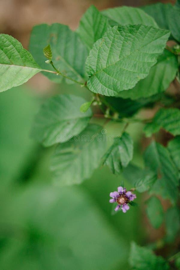 De installatie van Rubusodoratus Purper-gebloeide Framboos of de framboos van Virginia stock afbeelding