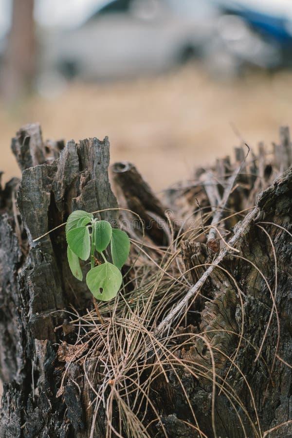 De installatiegroei op de doodsboom probeert aan overlevende stock afbeelding