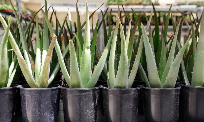 De installaties van aloëvera in potten op de planken bij de de lentebloem tonen royalty-vrije stock fotografie