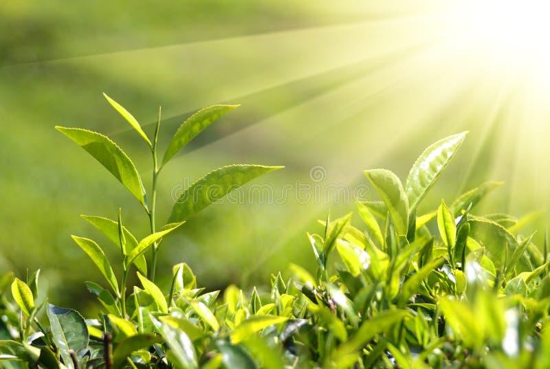 De installaties van de thee in zonnestralen stock fotografie