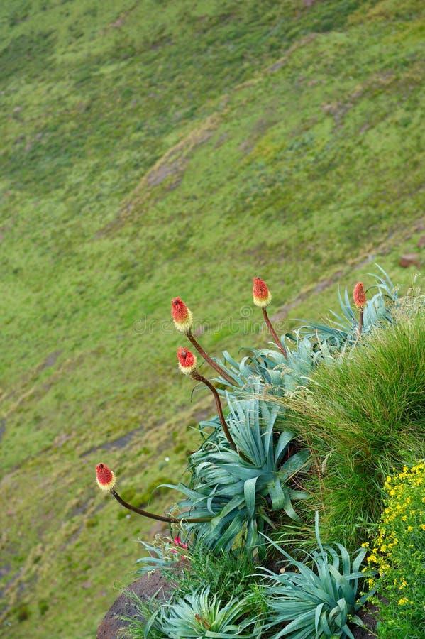 De installaties van het aloë met bloemen stock foto's