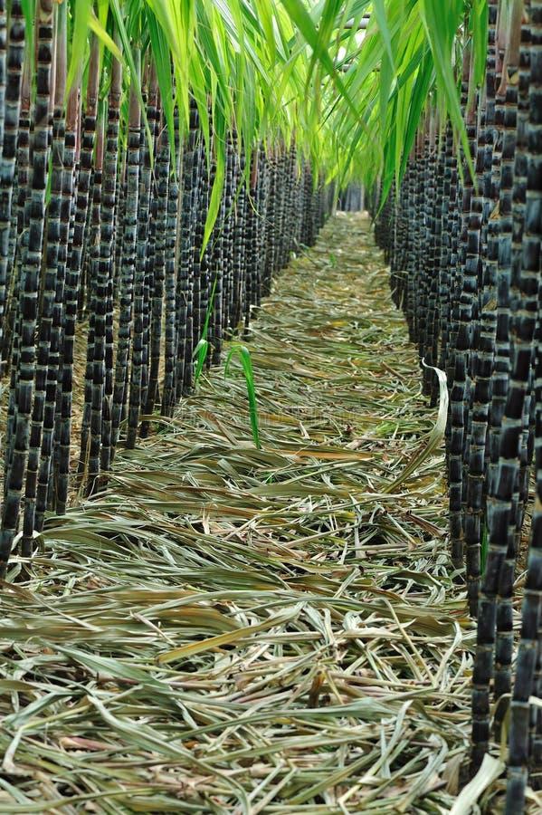 De installaties van het suikerriet in rij stock afbeeldingen