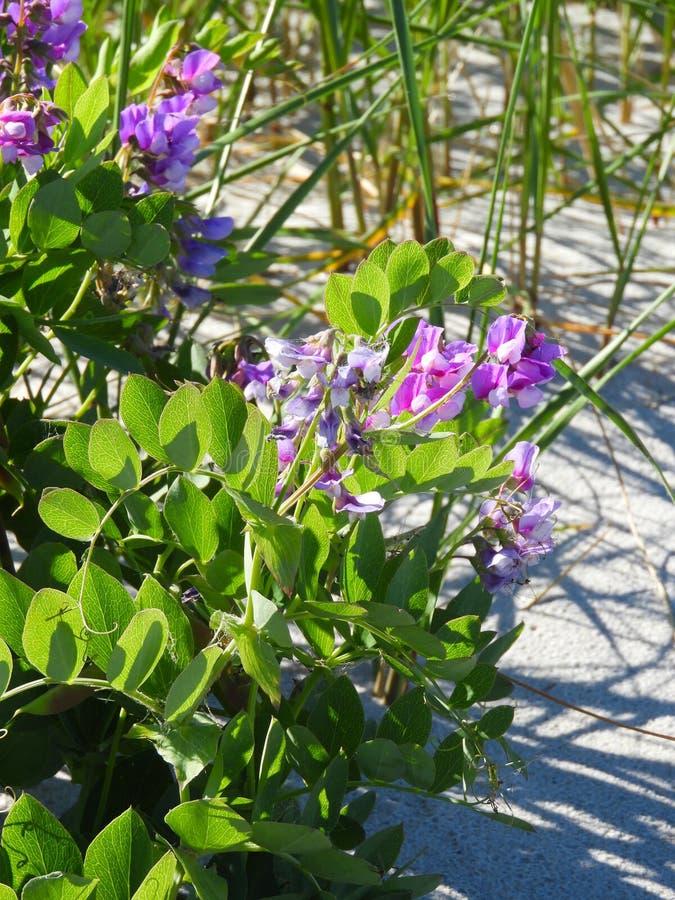De installaties van de stranderwt groeien in het duinzand op Crane Beach MAssachuse royalty-vrije stock foto's