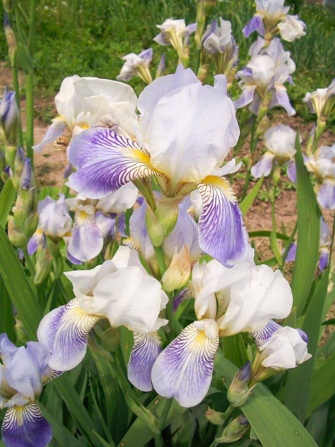 De interessante bloem van de iris. stock foto
