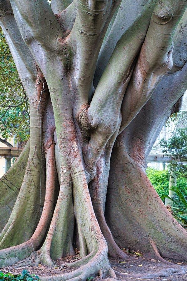 De interessantste oude boom in Kaapstad, Zuid-Afrika royalty-vrije stock foto's
