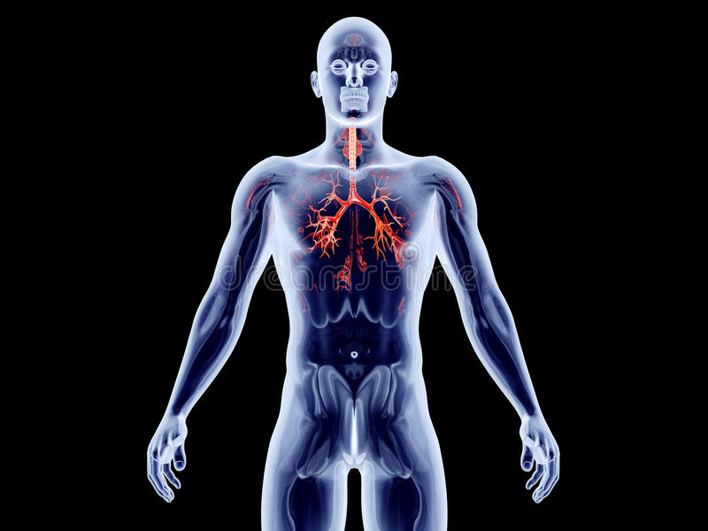 Interne Organen - Bronchiale Slagaders stock illustratie