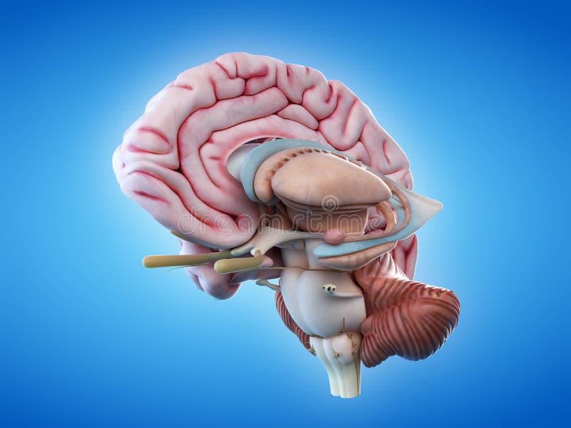 De interne hersenenanatomie royalty-vrije illustratie