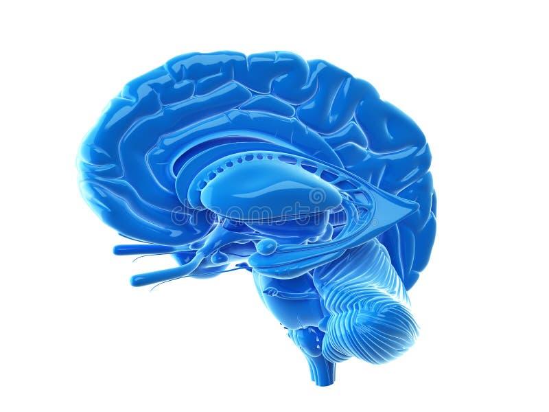 De interne hersenenanatomie stock illustratie