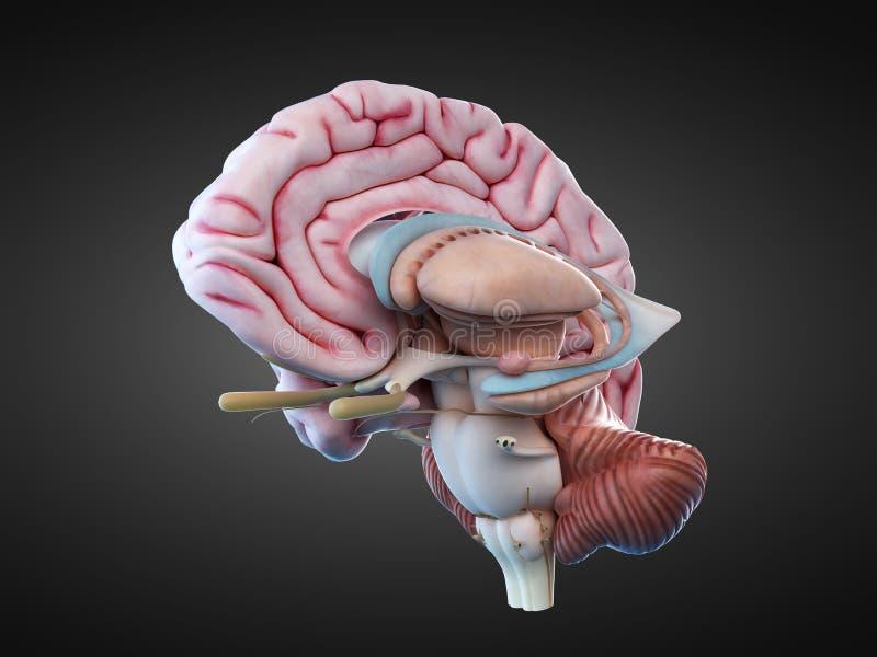 De interne hersenenanatomie vector illustratie