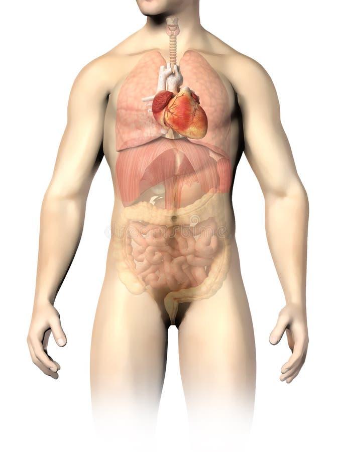 De interne organen van de mensenanatomie, met het bevlekte hart. royalty-vrije illustratie
