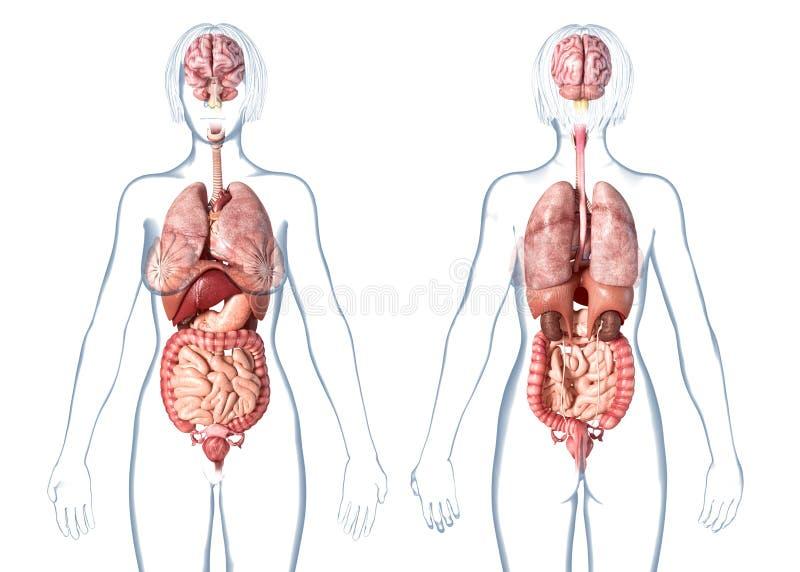 De interne organen van de vrouwenanatomie, achter en vooraanzicht stock illustratie
