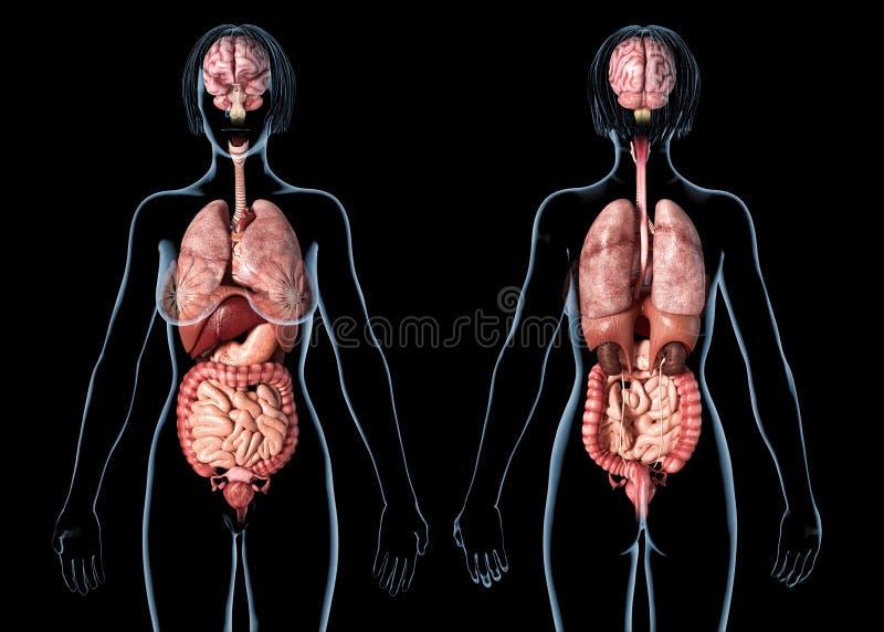 De interne organen van de vrouwenanatomie, achter en vooraanzicht royalty-vrije illustratie