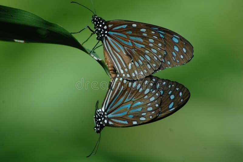 De intrasslade fjärilarna arkivfoton