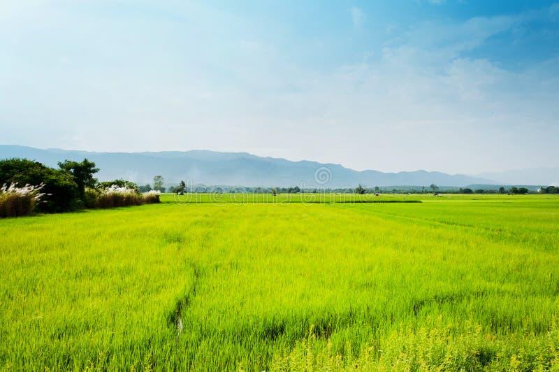 De inwoner van het de rijstlandschap van het gebied van het leven stock fotografie