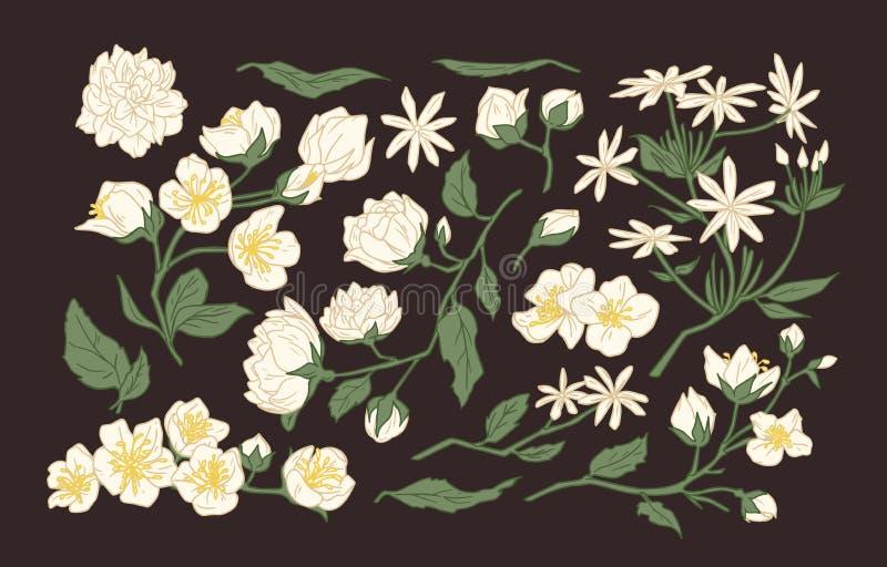De inzameling van elegante gedetailleerde botanische tekeningen van jasmijn en hetoranje bloeien bloeit en gaat weg Getrokken han royalty-vrije illustratie