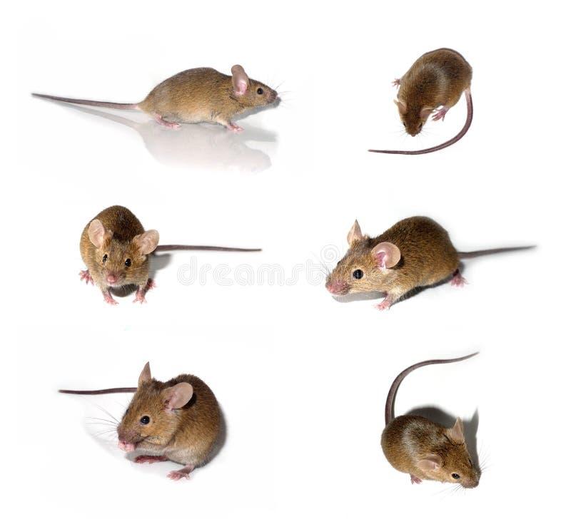 De inzameling van muizen royalty-vrije stock fotografie