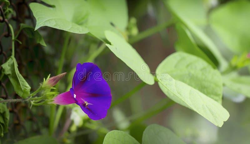 De Ipomoeaalgemene naam is ochtendgloriën, bloeiend installatiefamilie Convolvulaceae stock fotografie