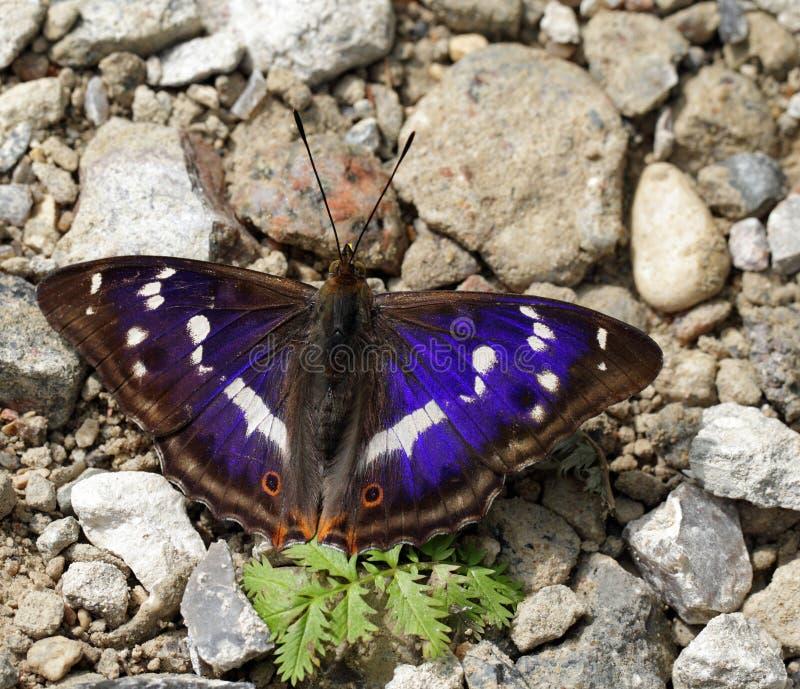 De iris van Apature/purpere keizer stock afbeelding