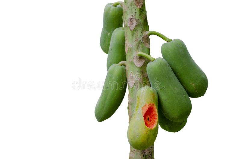 De isoleren-papajaboom werd geknaagd aan door eekhoorn op de witte achtergrond het knippen weg royalty-vrije stock fotografie