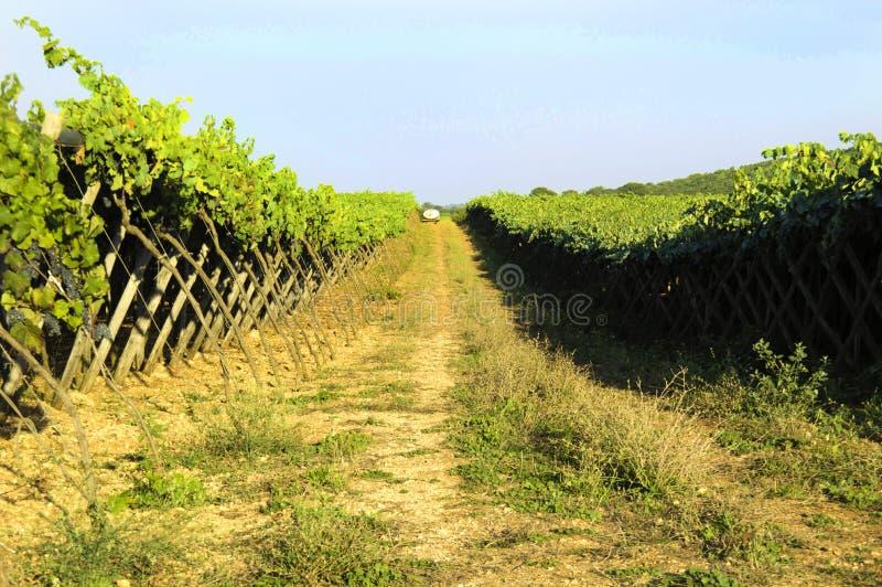 De Italiaanse wijngaard van wijnpuglia royalty-vrije stock foto