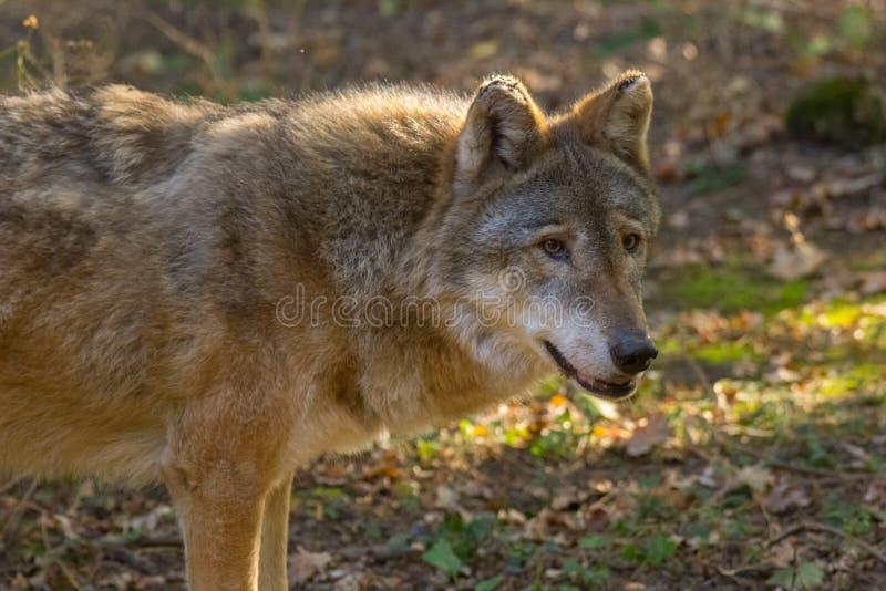 De Italiaanse Wolf in het bos stock foto