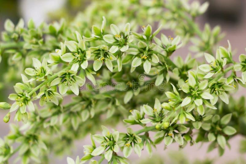 De ivoorprins hellebores, groenachtige witte lenten bloemen, nam toe stock foto