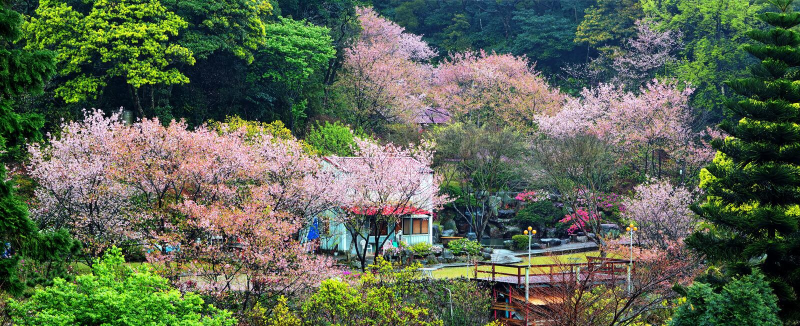 De jaarlijkse kersenbloesem, die een groot aantal toeristen aantrekken royalty-vrije stock foto's