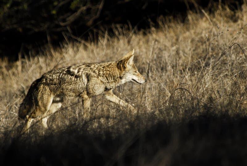 De jacht van de coyote in het prairiegras royalty-vrije stock foto