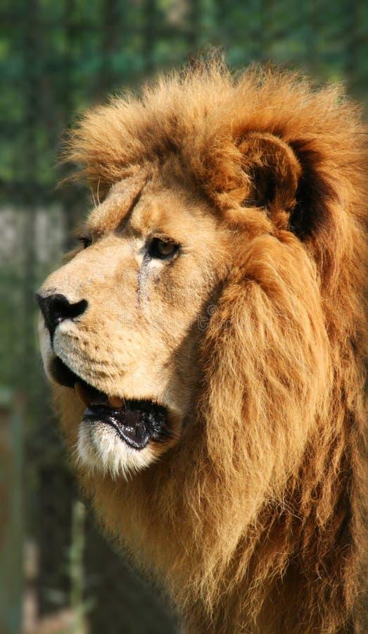 De jacht van de leeuw royalty-vrije stock afbeeldingen