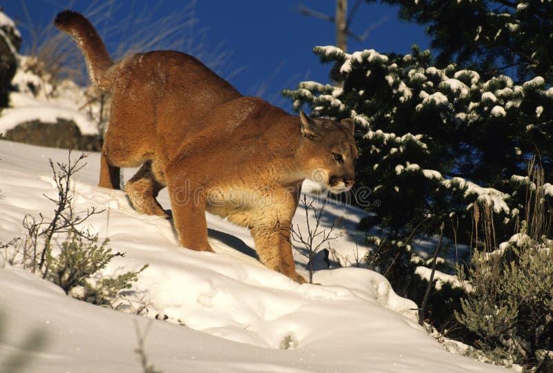 De Jacht van de poema in Sneeuw stock foto