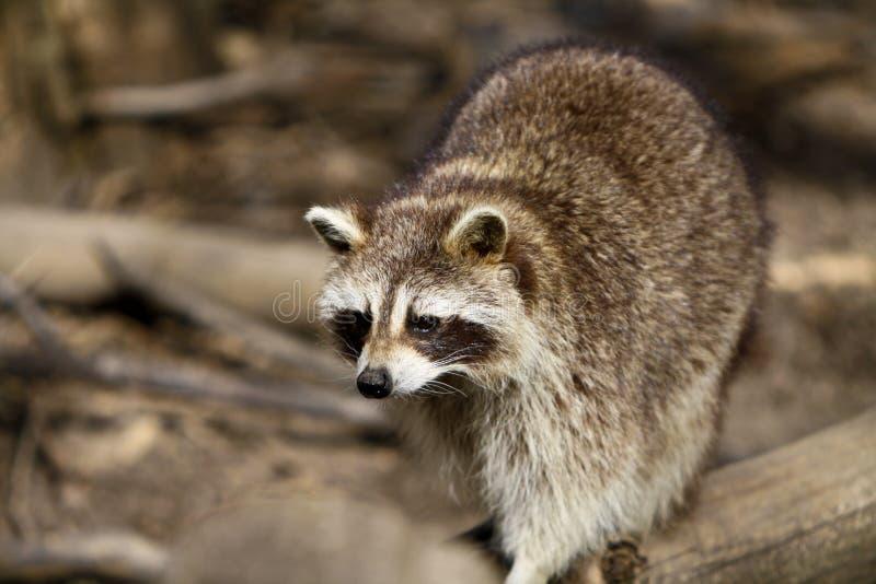 De jacht van de wasbeer stock foto