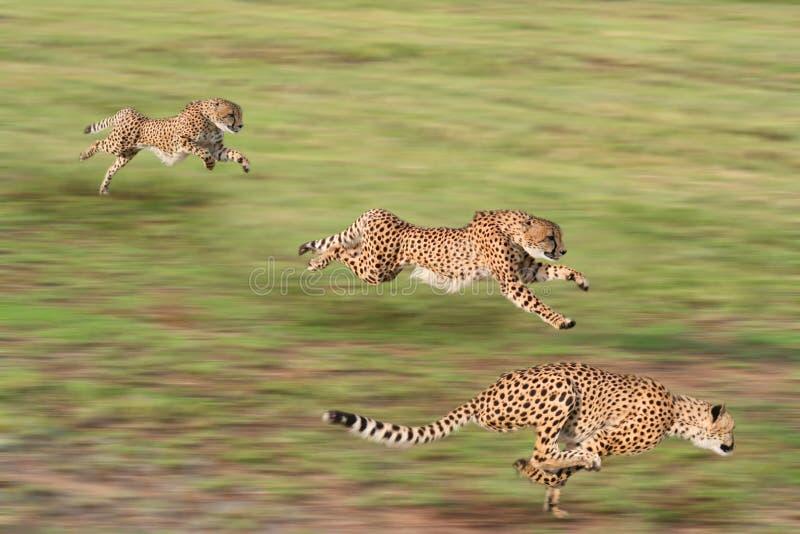 De jacht van jachtluipaarden royalty-vrije stock fotografie