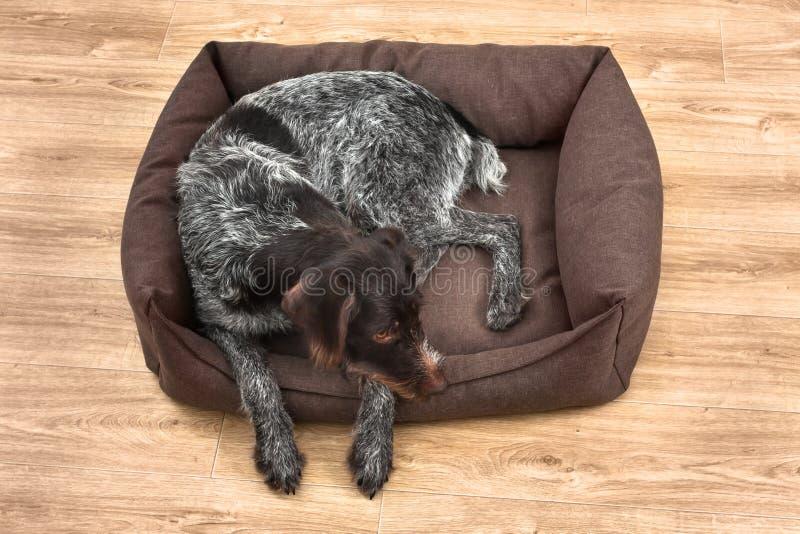 De jachthond rust in het hondbed royalty-vrije stock fotografie