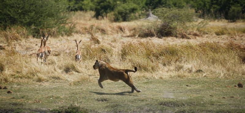 De jachtleeuwin die snel na Impala lopen stock fotografie