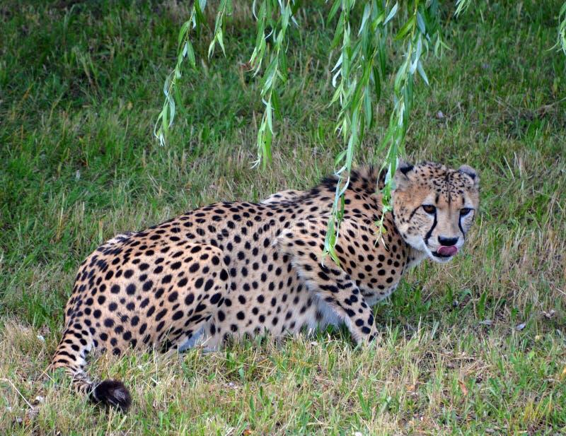 De jachtluipaard is grote katachtig royalty-vrije stock foto's