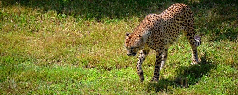 De jachtluipaard is grote katachtig stock afbeeldingen