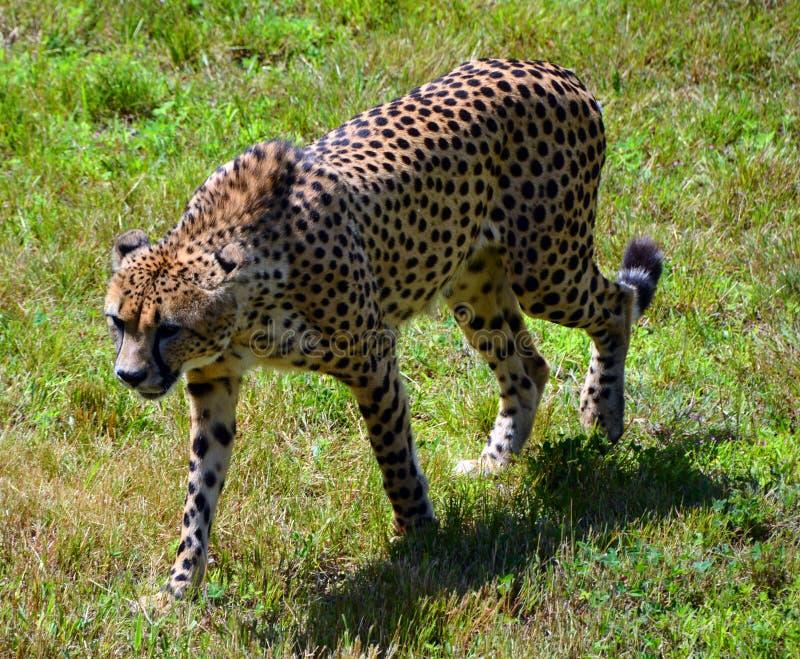 De jachtluipaard is grote katachtig royalty-vrije stock afbeelding