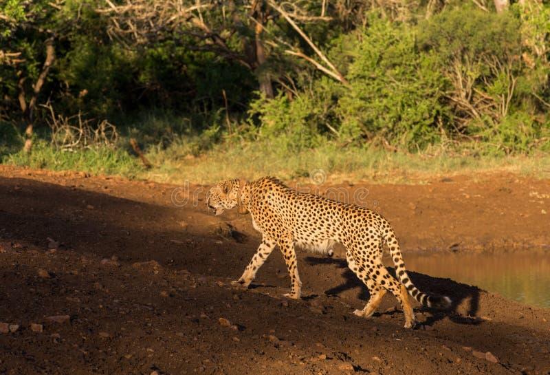 De jachtluipaard op snuffelt rond royalty-vrije stock afbeelding