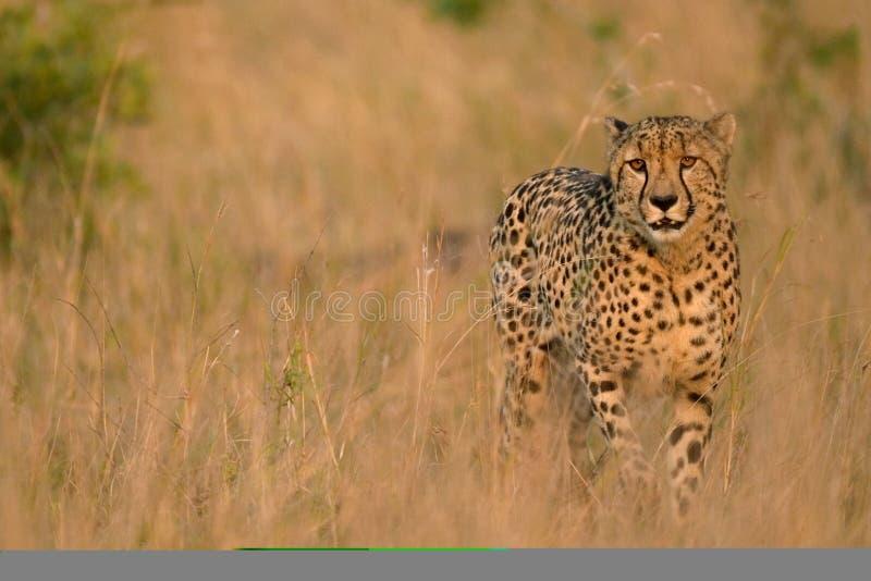 De jachtluipaard van de savanne royalty-vrije stock foto