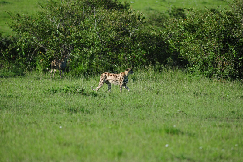 Download De Jachtluipaarden Op Snuffelen Rond Stock Foto - Afbeelding bestaande uit safari, snel: 29503662