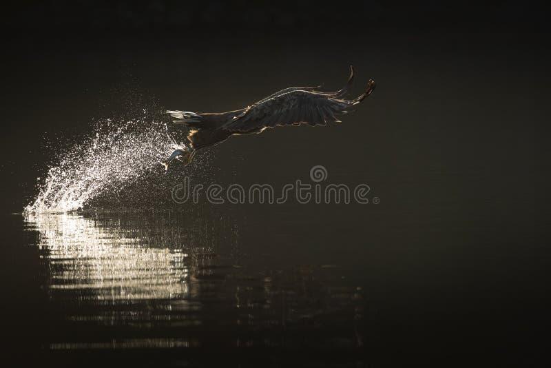 De jachtoverzees Eagle stock foto's