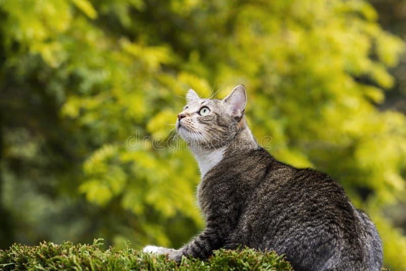 De jagende Grijze Kat van de Gestreepte kat stock afbeelding