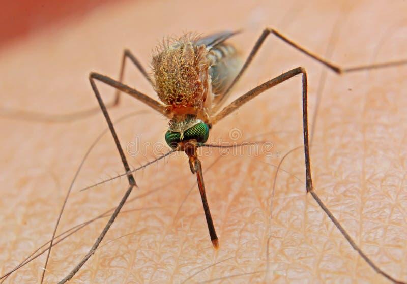 De jagers menselijk insect van het mugbloed stock fotografie