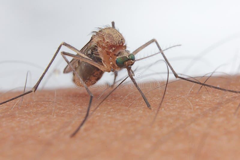 De jagers menselijk insect van het mugbloed stock foto's