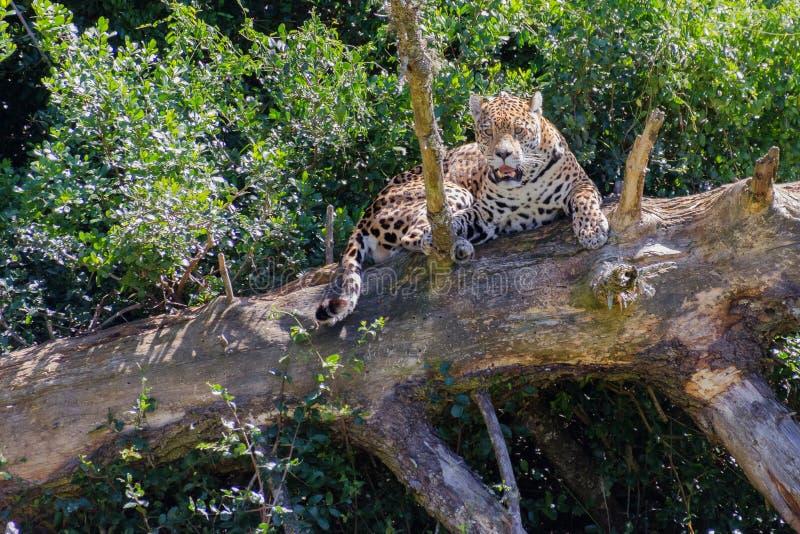 De jaguar stock afbeeldingen