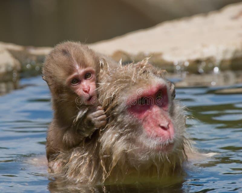 De Japanse Aap Macaque van de baby royalty-vrije stock afbeelding