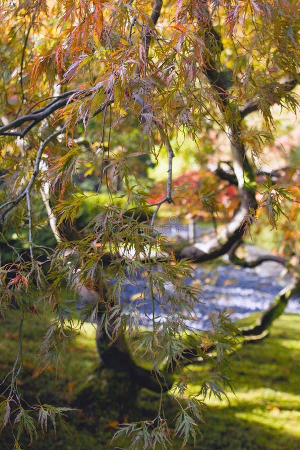 De Japanse Besnoeiing Geregen Close-up van de Boom van de Esdoorn van het Blad royalty-vrije stock foto's